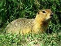 Ground Squirrel pest